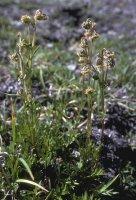 Artemisia arctica
