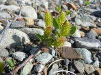 Salix setchelliana