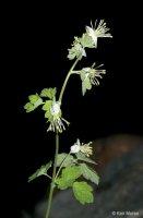 Thalictrum sparsiflorum
