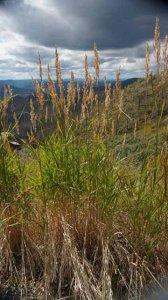 Calamagrostis canadensis