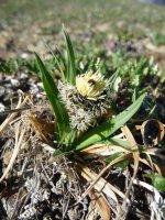 Carex microchaeta