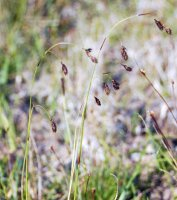 Carex fuliginosa