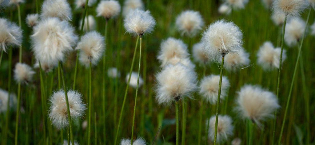 field of Alaska cotton grass