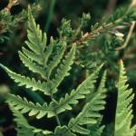 Gymnocarpium dryopteris- western oakfern