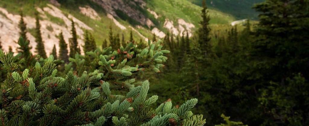 spruce in Nenana Canyon