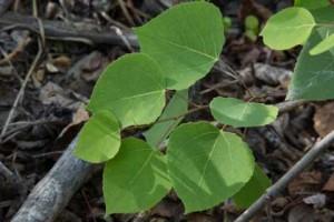 aspen leaves (Populus tremuloides)