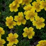 Potentilla biflora (twoflower cinquefoil)