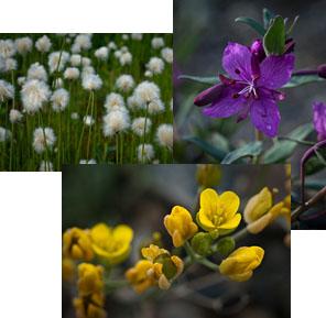 just a few plant species of Denali