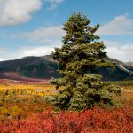 a lone spruce tree