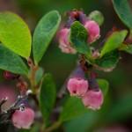 Vaccinium uliginosum bog- blueberry
