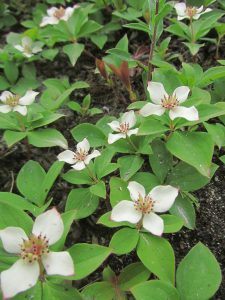 patch of dogwood