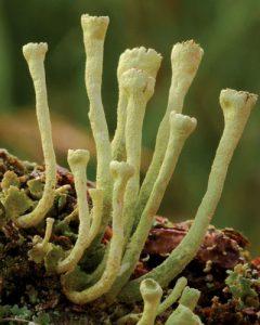 fruticose lichen example