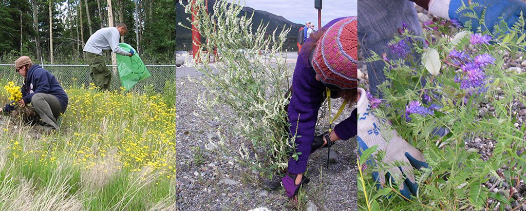Denali's worst three invasive plants