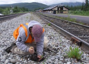 volunteer pulling invasive along railroad track