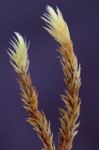 Aulocomnium palustre