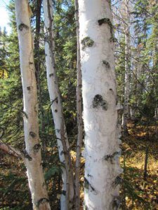 Betula neoalaskana