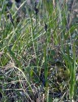 Carex bigelowii