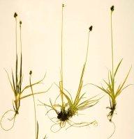 Carex media