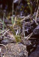 Carex supina ssp. spaniocarpa