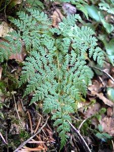 Cystopteris montana