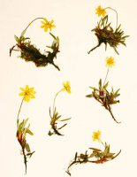 Dryas integrifolia ssp. sylvatica