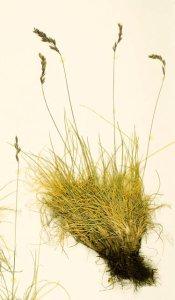 Festuca lenensis