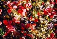 Arctostaphylos alpina