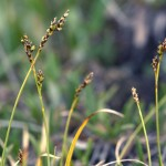 Carex concinna- low northern sedge
