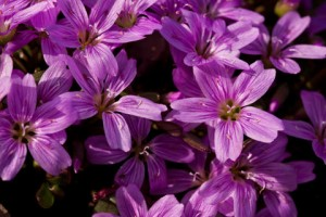 Plant named after Scammon- (Claytonia scammaniana)