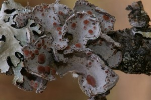 boreal felt lichen dry