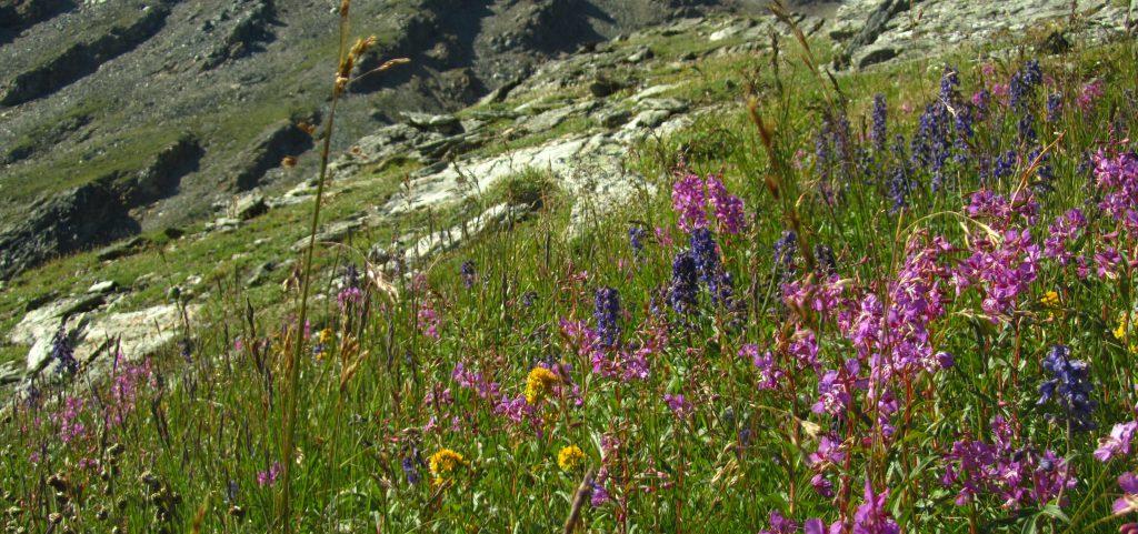 flowers on Mt. Margaret