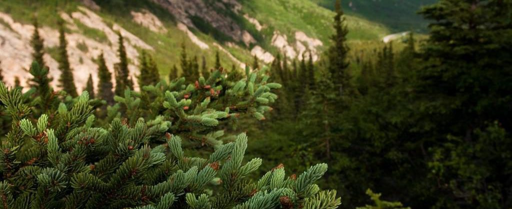 spruce in Nenana Canyon