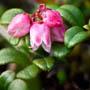 low bush cranberry