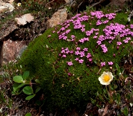 an alpine cushion plant