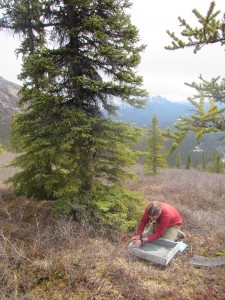 man kneeling looking at seeds, next to spruce tree