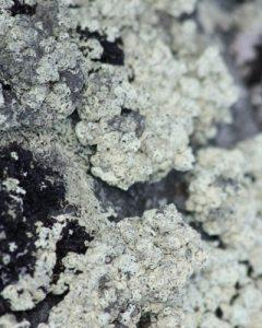 squamulose lichen example